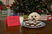 stock photo of maltipoo  - Maltipoo Puppy Checking Out Santa - JPG