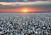 stock photo of boll  - A field of open boll cotton ready for harvest.  Photogarphed during a wonderful sunset with great colors and beautiful clouds.