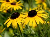 pic of black-eyed susans  - Black eyed susan yellow flowers on the field of Black eyed susan - JPG