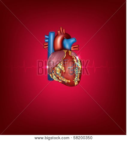 Human Heart Medical Illustration On A Bright Red Background