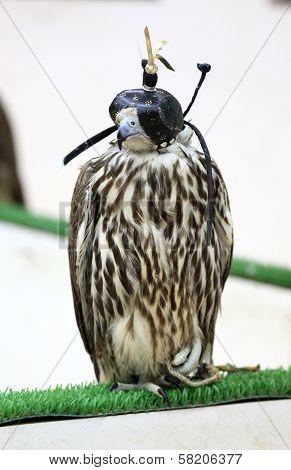 Falcon In Souq Waqif, Doha