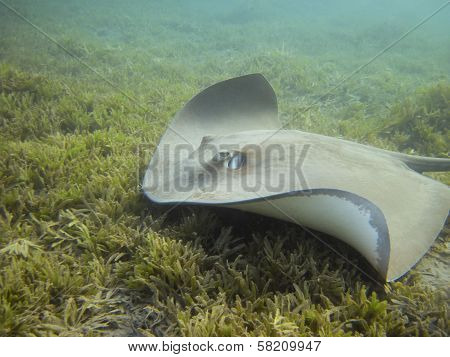 Darkspotted Stingray (himantura Uarnak) Swimming Over The Sea Grass