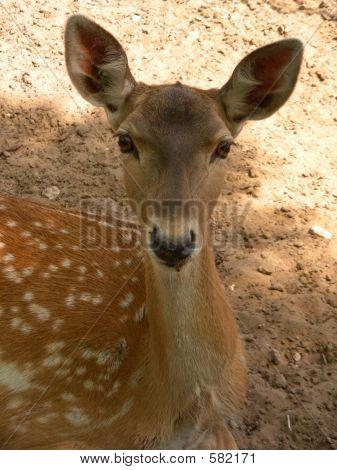 Babe Deer