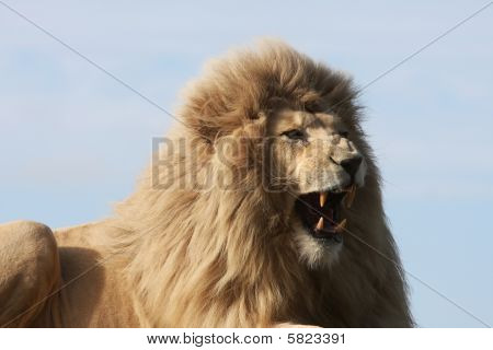 White Lion Snarling