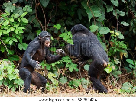 Fighting Bonobos ( Pan Paniscus). At A Short Distance, Close Up.