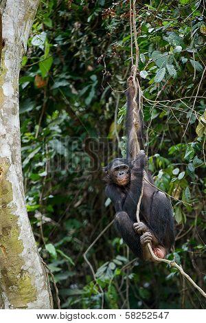 Bonobo On A Tree Branch.