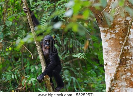Bonobo Cub On A Tree Branch.