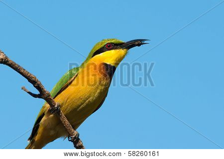 Little Bee-eater (merops Pusillus) With Small Bee