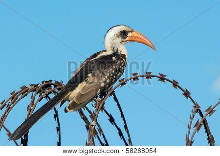 Western Red-billed Hornbill On Razor Wire
