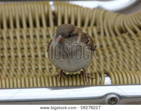 Juvenile Female House Sparrow