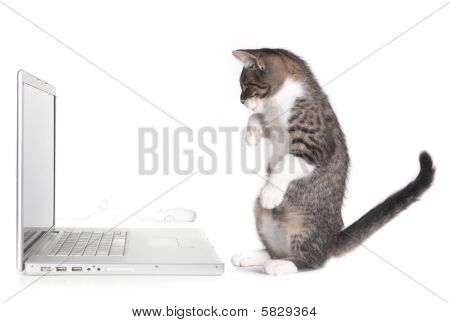 Kitten Sitting Up Looking At Computer
