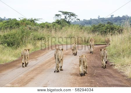 Young lions in the savanna