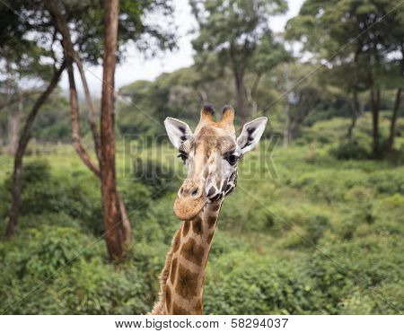 Giraffe portrait in the forest