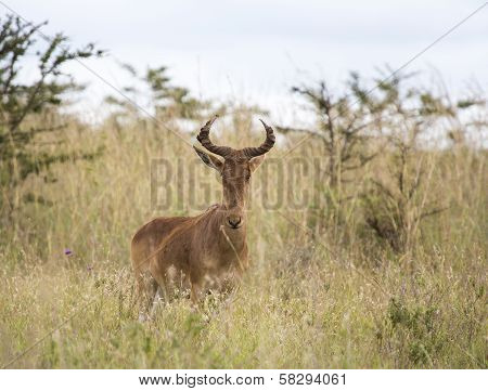 Lichtenstein's Hartebeest in the African savanna