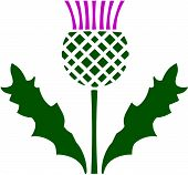 foto of scottish thistle  - Vector illustration of a Scottish or Scotch Thistle - JPG