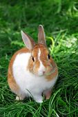 pic of bunny rabbit  - Cute bunny rabbit sitting outside in green grass - JPG