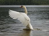 stock photo of trumpeter swan  - White Swan waving on lake a a