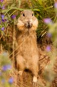 stock photo of ground nut  - Standing Ground squirrel wit his nut a - JPG