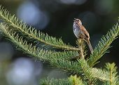 Постер, плакат: Song Sparrow Sings