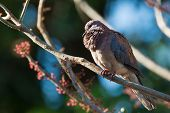 picture of fluffing  - A Laughing Dove  - JPG