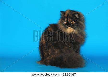 Persian Tortie Cat
