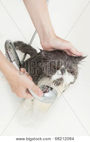 Persian breed cat taking a shower