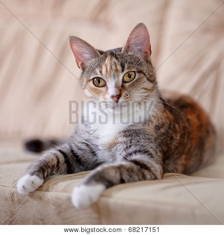 The Multi-colored Cat With Yellow Eyes Lies On A Sofa.