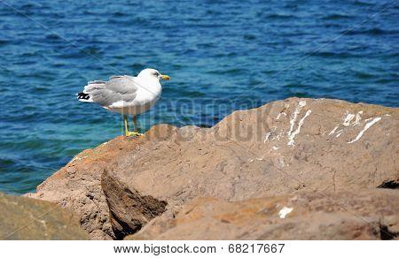 Curious Seagull