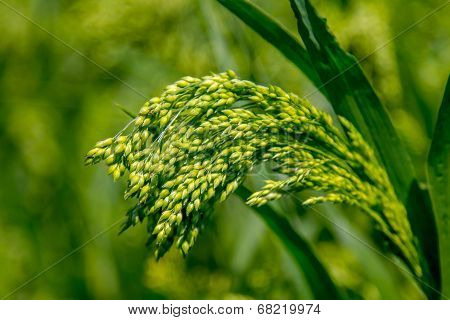 Field Plant Millet Background