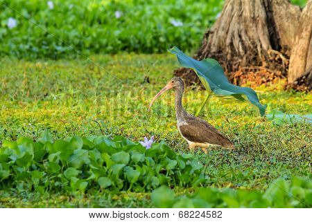 Immature Ibis In Beautiful Light