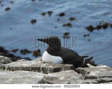 Guillemot At Nest