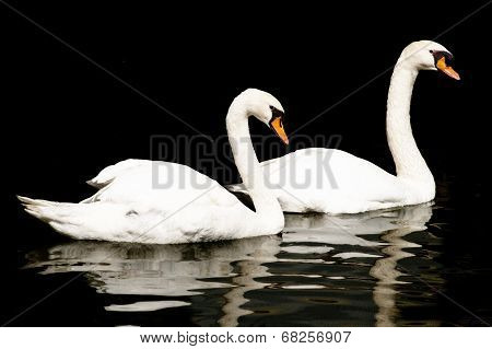 Pair of Swans on Black Background