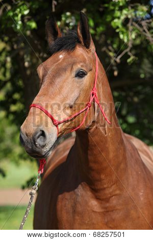 Amazing Brown Horse With Red Rope Halter