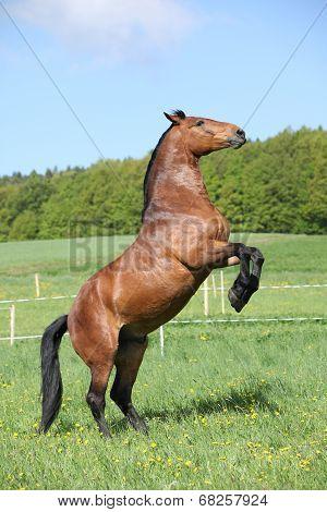 Gorgeous Big Brown Horse Prancing