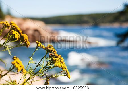 Yellow Wildflowers With Acadia National Park In Background