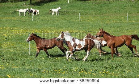 Batch Of Beautiful Horses Running On Pasturage