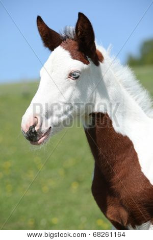 Nice Paint Horse Foal On Pasturage