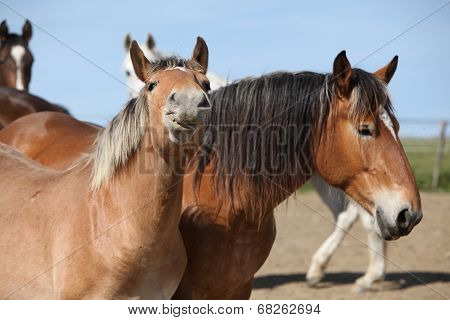 Nice Draft Horses Looking At You