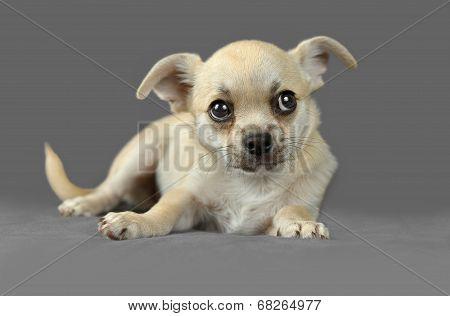 Cute Pure Breed Chihuahua Puppy