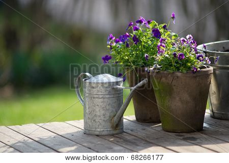 Violet Bloom In Flowerpot On Wooden Terrace With Galvanized Watering Can