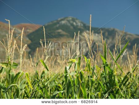 corn mountain