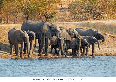 A herd of African elephants (Loxodonta africana) drinking water, South Africa