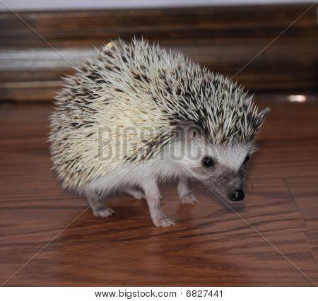 Alert African Pigmy Hedgehog