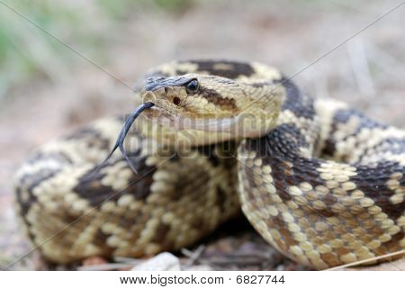 Arizona blacktail rattlesnake flicking its tongue