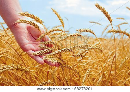 Wheat Field And Male Hand Holding Cone In Summer Day