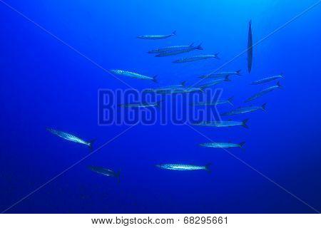School Barracuda Fish Ocean