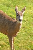 stock photo of black tail deer  - Young blacktail deer a subspecies of mule deer graze on fresh grass 