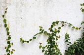 foto of climber plant  - A climber plant on old concrete wall - JPG