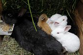 stock photo of rabbit hutch  - Black DOE - JPG
