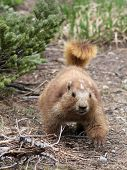 pic of marmot  - An approaching Olympic Marmot in Washington State - JPG